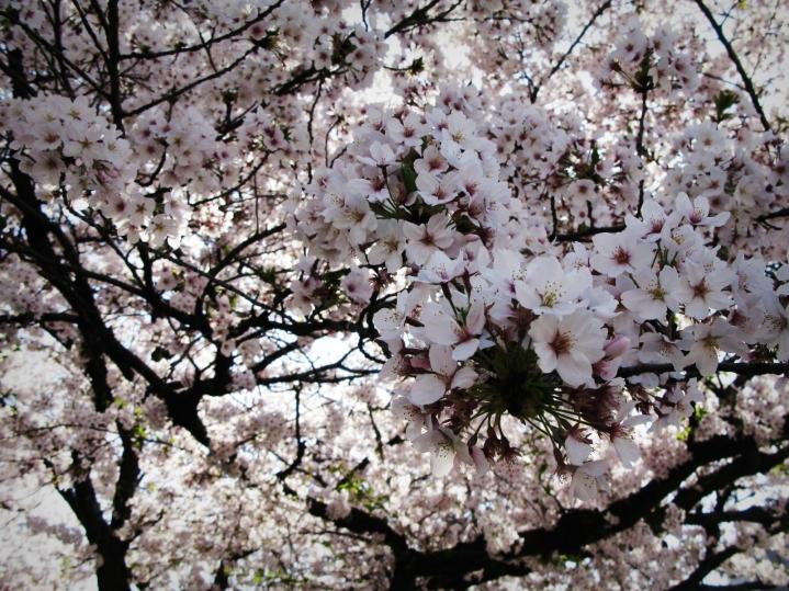 Kyoto, Cherry Blossom, Japan