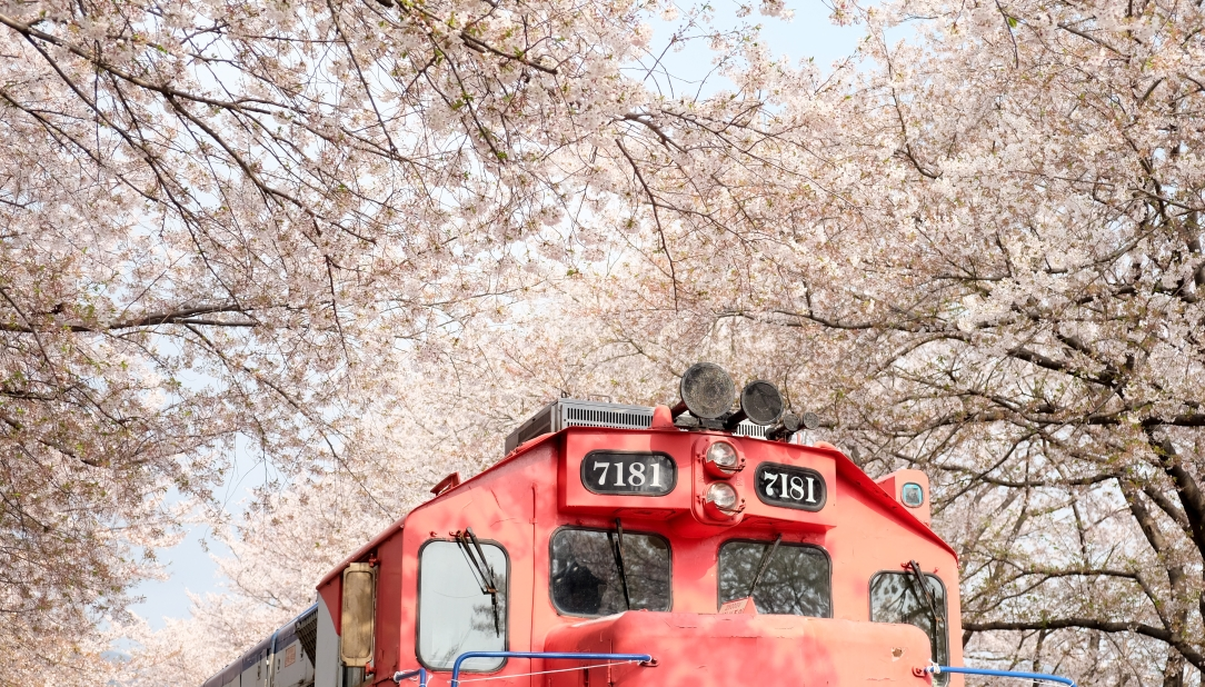 Cherry Blossom, Jinhae, South Korea