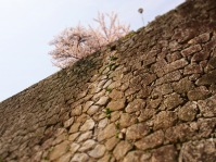 Beautiful Cherry blossom by the wall of the castle