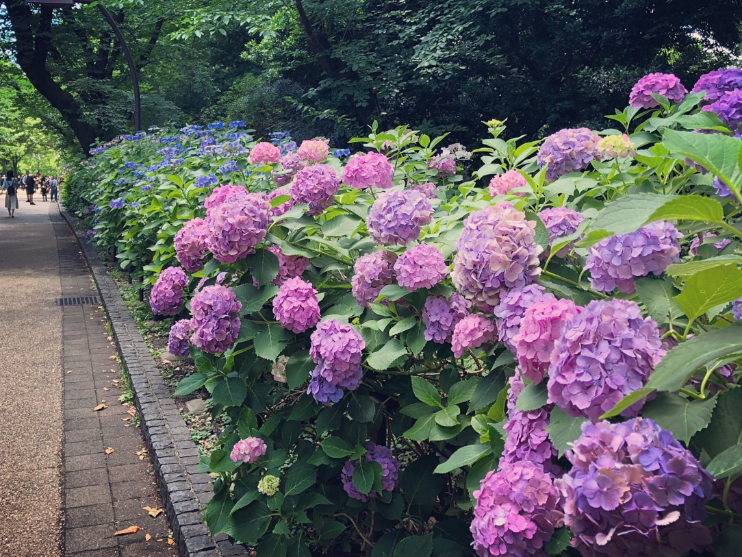Tokyo Hydrangea - Ueno
