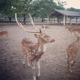 Yogyakarta Java Prambanan - deer 1