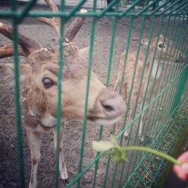 Yogyakarta Java Prambanan - deer 3