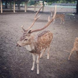 Yogyakarta Java Prambanan - deer 4