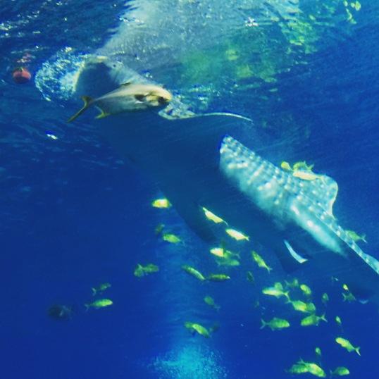 Hengqin Aqua Park - Whale Shark