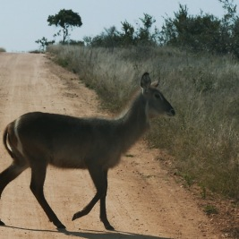 South Africa, Kruger - Safari Animals