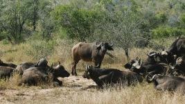 South Africa, Kruger - Safari Buffalo (2)