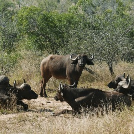 South Africa, Kruger - Safari Buffalo (2)