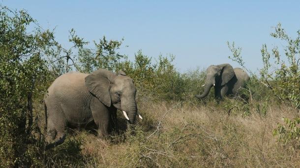 South Africa, Kruger - Safari Elephant (2)