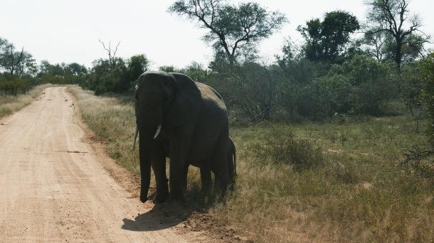 South Africa, Kruger - Safari Elephant