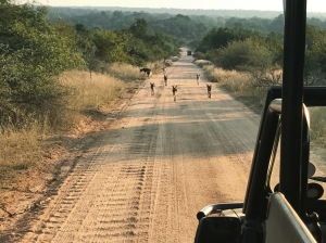 South Africa, Kruger - Safari Wild Dogs