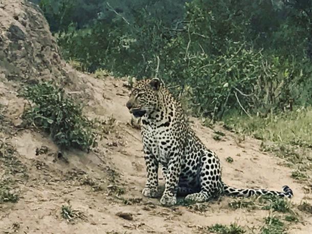 South Africa, Kruger - Leopard