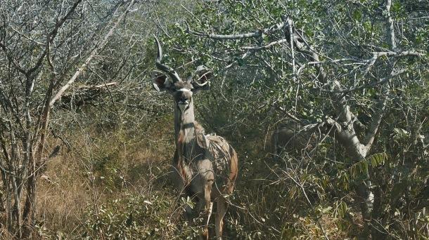 South Africa, Kruger - Safari (3) Kudu