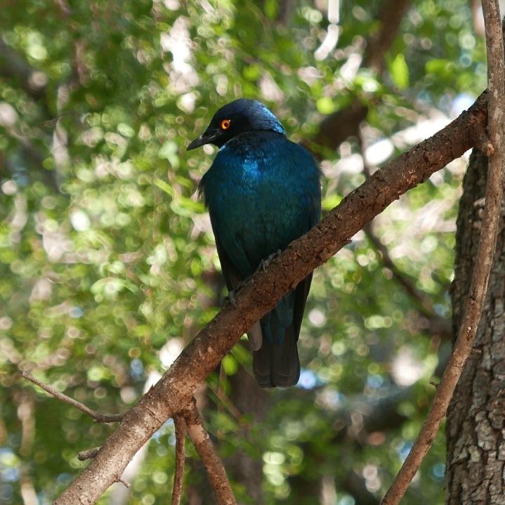 South Africa, Kruger - Safari Bird (2)