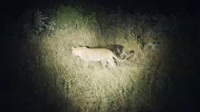 South Africa, Kruger - Safari Leopard (3)