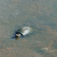 South Africa, Kruger - Turtle
