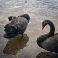 Perth #6 Black Swan