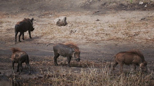 boars in Chobe - When I was planning my trip to South Africa, and I was scrolling through the travel forums, one question popped out rather frequently: Chobe or Kruger?