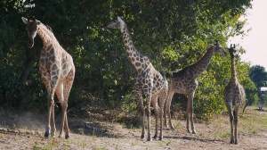 Giraffe in Chobe - When I was planning my trip to South Africa, and I was scrolling through the travel forums, one question popped out rather frequently: Chobe or Kruger?