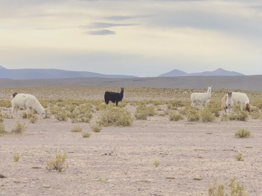 Alpacas roaming in the wild in Uyuni, Bolivia